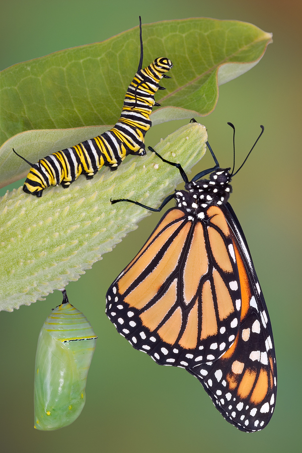 bigstock-Monarch-Life-Stages-2210004